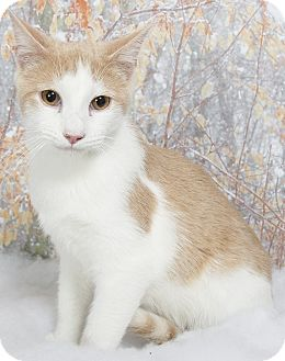 Oriental Cat for adoption in Nashville, Tennessee - Brody