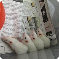 Adopt A Pet :: 11 BABY WHITE RATS! - Philadelphia, PA