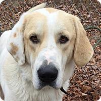 Adopt A Pet :: Goliath - Washington, DC