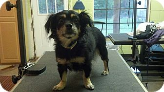 Chihuahua/Pomeranian Mix Dog for adoption in Brattleboro, Vermont - Stefie