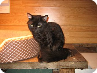 Domestic Longhair Cat for adoption in Portland, Maine - KoKo