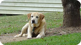 Labrador Retriever Dog for adoption in Sherman, Connecticut - Jake