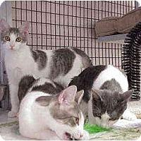 Adopt A Pet :: Munchkin & Family - Deerfield Beach, FL
