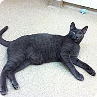 Adopt A Pet :: Opie - Lafayette, CA