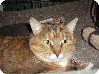 Domestic Shorthair Cat for adoption in Alden, Iowa - Calsilica