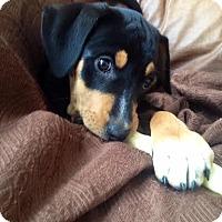 Adopt A Pet :: *Sweet Sara - PENDING - Westport, CT