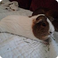 Adopt A Pet :: Amber - San Antonio, TX