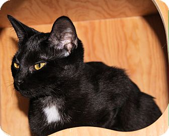 Domestic Shorthair Cat for adoption in Morganton, North Carolina - Serena