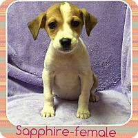 Adopt A Pet :: Sapphire(DC) - Plainfield, CT