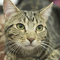 Adopt A Pet :: Shadow - Great Falls, MT