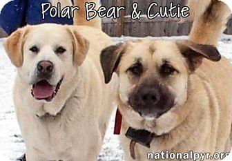 Great Pyrenees/Australian Kelpie Mix Dog for adoption in Beacon, New York - Cutie & PolarBear in NY