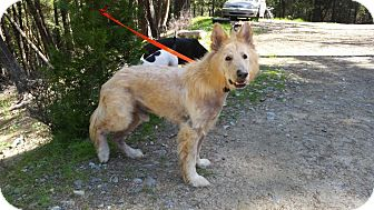 German Shepherd Dog Dog for adoption in Rogue River, Oregon - Mr Banks