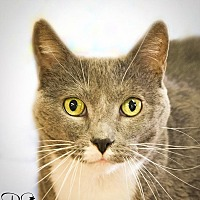Domestic Shorthair Cat for adoption in Belton, Missouri - Roxy