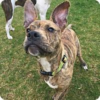 Adopt A Pet :: Griff - Newtown, CT