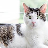 Domestic Shorthair Cat for adoption in Cincinnati, Ohio - Sugar