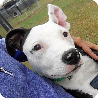 American Staffordshire Terrier Mix Dog for adoption in Siren, Wisconsin - Diamond