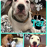 Pit Bull Terrier/Terrier (Unknown Type, Medium) Mix Dog for adoption in Colmar, Pennsylvania - Taz