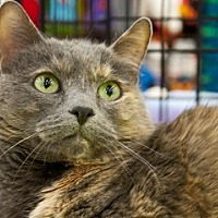 Domestic Shorthair Cat for adoption in Great Falls, Montana - Dusty
