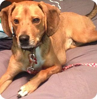 Hound (Unknown Type)/Beagle Mix Dog for adoption in Akron, Ohio - Spencer