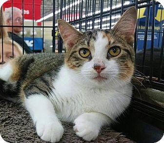 Calico Kitten for adoption in MARENGO, Illinois - Arianna aka Corky