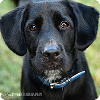 Spaniel (Unknown Type)/Retriever (Unknown Type) Mix Dog for adoption in Miami, Florida - chance