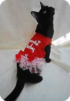 Domestic Shorthair Kitten for adoption in Northfield, Ohio - Fran