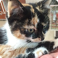 Domestic Mediumhair Kitten for adoption in Breese, Illinois - Mookie