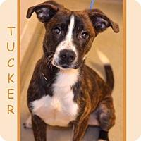 Adopt A Pet :: TUCKER - Dallas, NC