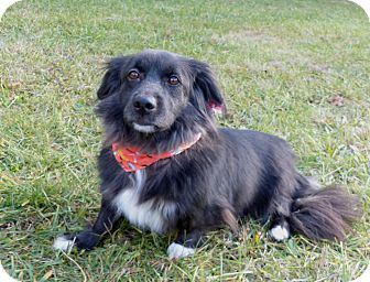 Corgi/Spaniel (Unknown Type) Mix Dog for adoption in Mocksville, North Carolina - WeeWee