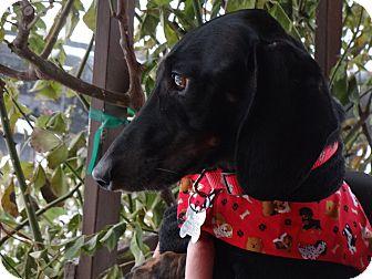 Dachshund Dog for adoption in Portland, Oregon - MARLEY