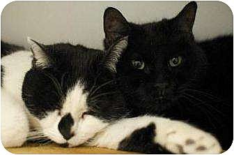 Domestic Shorthair Cat for adoption in New York, New York - Wendy