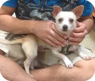Chihuahua Dog for adoption in Modesto, California - Randy