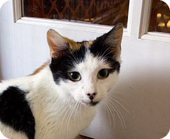 Calico Cat for adoption in Richmond, Virginia - Callie