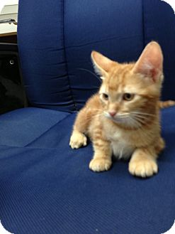 Domestic Shorthair Kitten for adoption in Fountain Hills, Arizona - BOO