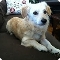 Spaniel (Unknown Type) Mix Dog for adoption in Santa Monica, California - Russ