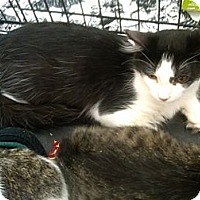 Adopt A Pet :: Taylor - Sterling Hgts, MI