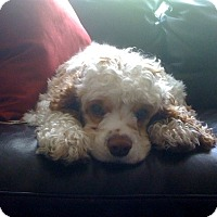 Adopt A Pet :: Gizmo - Lynnwood, WA