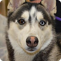 Adopt A Pet :: MIKAIL - Memphis, TN