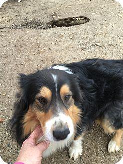 Australian Shepherd Dog for adoption in Parker, Kansas - gizzey