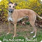 Adopt A Pet :: Pw bullet