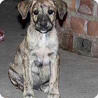 Adopt A Pet :: Mowgli - Phoenix, AZ