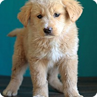 Adopt A Pet :: Yellow - Waldorf, MD