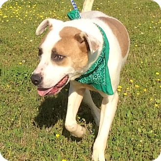 Mountain Cur Mix Dog for adoption in Hagerstown, Maryland - Chester