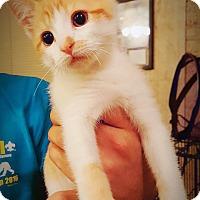 Adopt A Pet :: Harley - DFW, TX