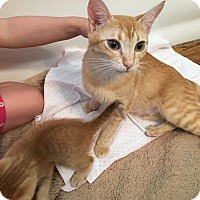 Adopt A Pet :: Ariel SWEETEST LOVING CAT! - Burbank, CA