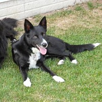 Border Collie Dog for adoption in Plymouth, Indiana - Corey
