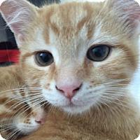 Domestic Shorthair Kitten for adoption in Verdun, Quebec - Teddy