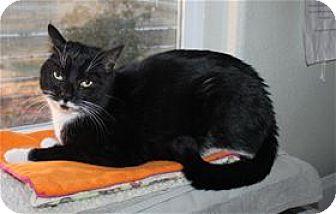 Domestic Shorthair Cat for adoption in Lincoln, California - Bat
