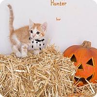 Domestic Shorthair Kitten for adoption in Riverside, California - Hunter