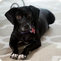 Adopt A Pet :: Giselle - Potomac, MD